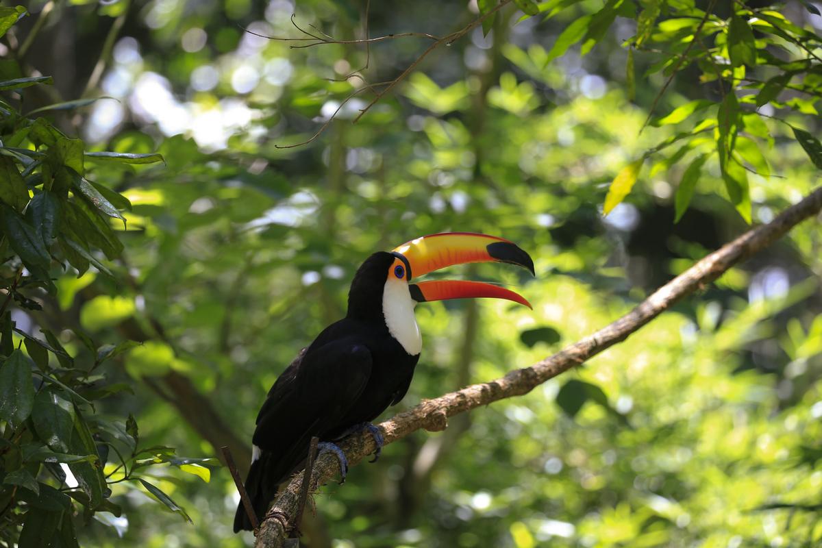 南美四国--巴西-巴西大嘴鸟