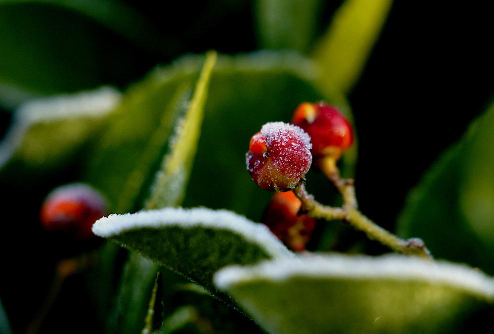 挂霜的忍 冬果