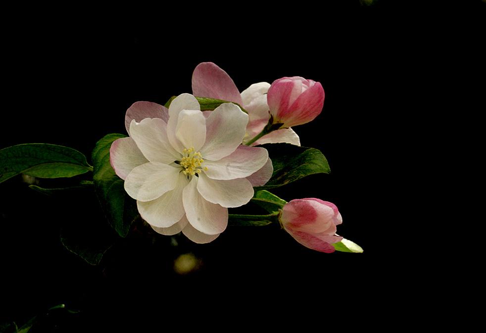 千姿百态的海棠花
