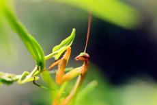 《绿眼螳螂》